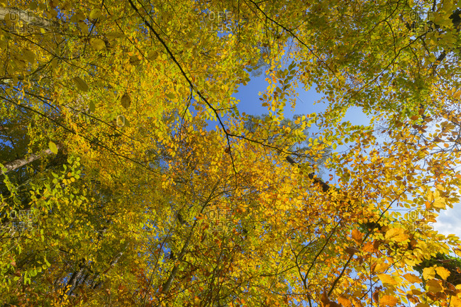 Colorful beech tree leaves in autumn, Odenwald, Hesse, Germany