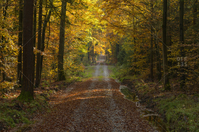 Colorful beech forest with road in autumn, Odenwald, Hesse, Germany