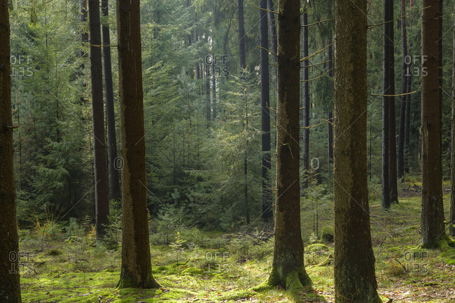 Coniferous forest after rain, Odenwald, Hesse, Germany