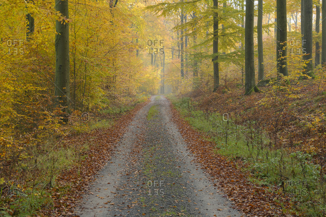 Colorful beech forest with road in autumn, Spessart, Bavaria, Germany