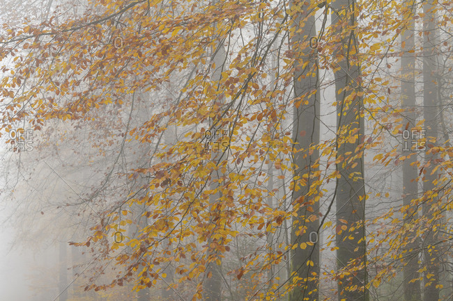 Deciduous forest with fog in autumn, Spessart, Bavaria, Germany