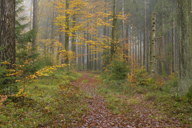 Deciduous forest with path  in autumn, Spessart, Bavaria, Germany