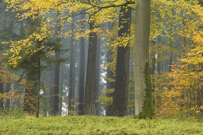 Deciduous forest  in autumn, Spessart, Bavaria, Germany