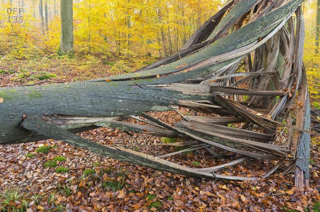 Fallen beech tree in autumn, Spessart, Bavaria, Germany