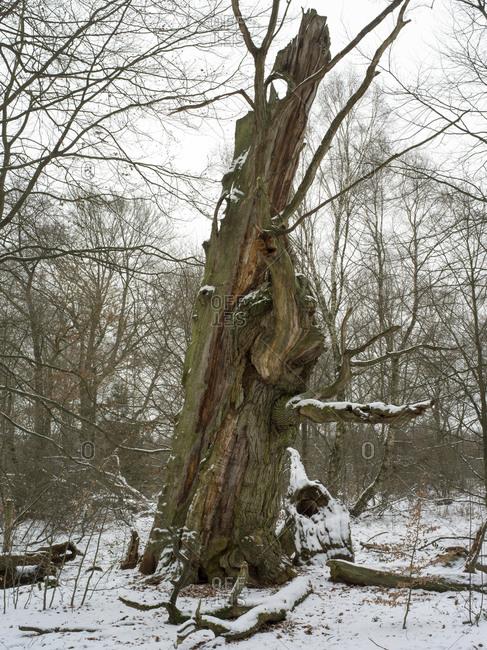 Sababurg Primeval Forest, Reinhardswald, Hessen