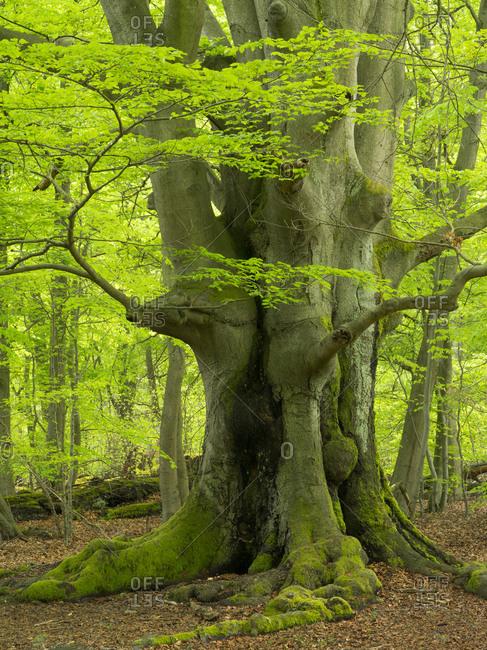 Old beech in the Sababurg primeval forest, Reinhardswald, Hessen