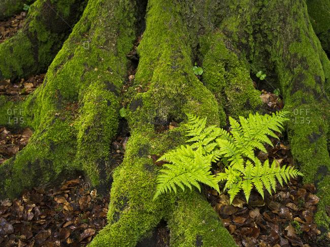 Fern in the jungle Sababurg, Reinhardswald, Hessen