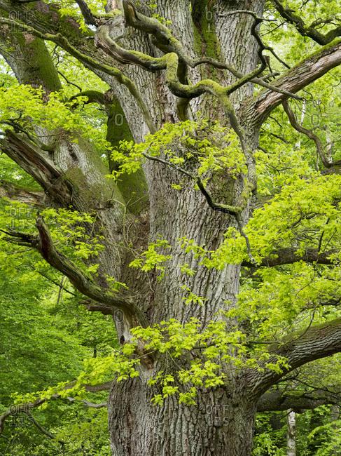 Oak in the jungle Sababurg, Reinhardswald, Hessen