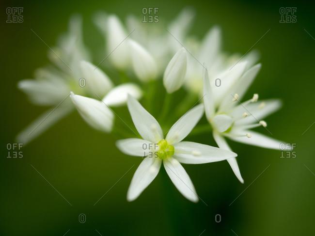 Wild garlic blossom, Hainich National Park, Thuringia