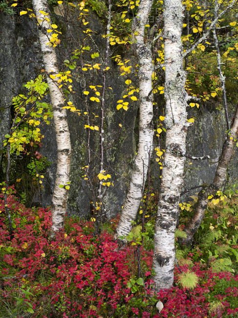 Birch trees in autumn, Senja island, Norway