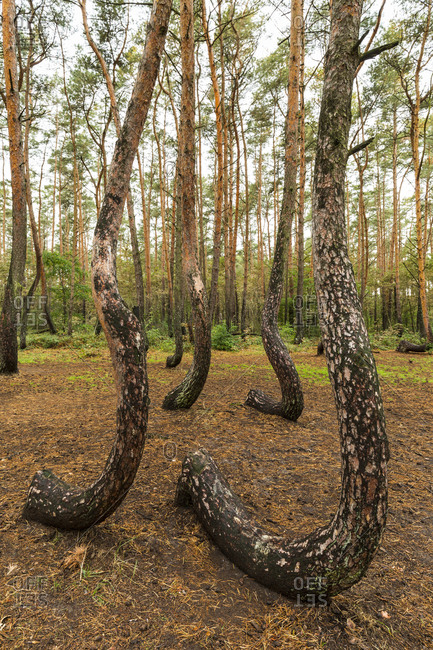 Europe, Poland, West Pomeranian Voivodeship, Krzywy Las, Crooked Forest