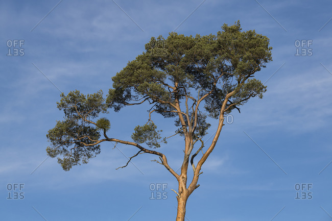Germany, Baden-Wurttemberg, Karlsruhe district, Philippsburg, tree crown of a pine tree