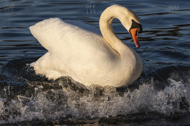 Germany, Baden-Wurttemberg, Karlsruhe district, Philippsburg, swan on a wave in the Rhine