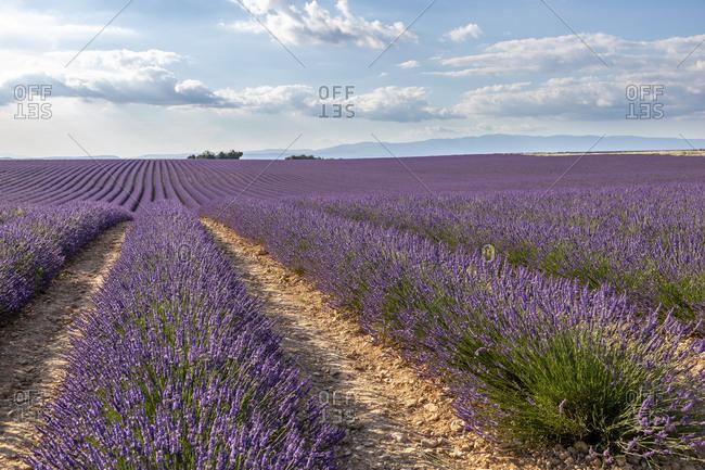 Lavender field, Valensole, Alpes-de-Haute-Provence, Provence-Alpes-C�te d'Azur Region, France