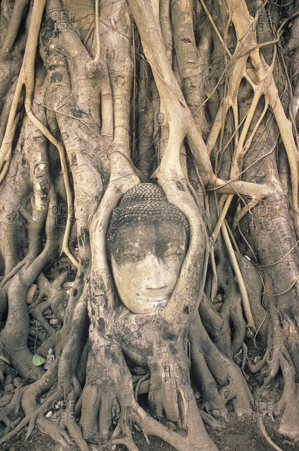Stone Buddha Head entwined In roots of fig tree, Wat Phra Mahathat, Ayuthaya, Thailand, Asia