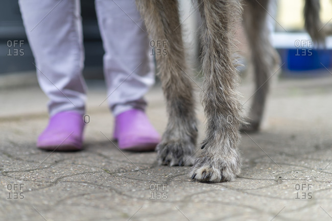 Low-section of an Irish wolfhound and owner
