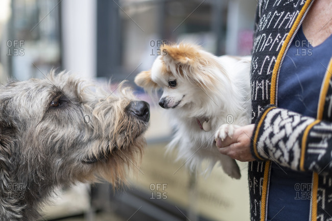 An Irish wolfhound and a small dog eye each other up