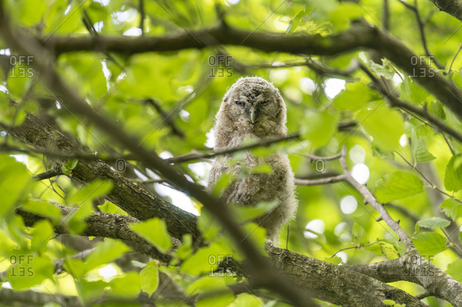 A tawny owlet branching out from the nest sitting on a branch
