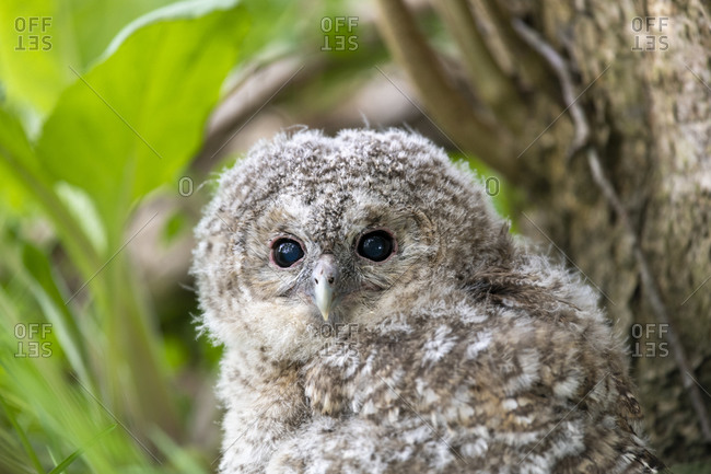 A tawny owlet branching out from the nest close up