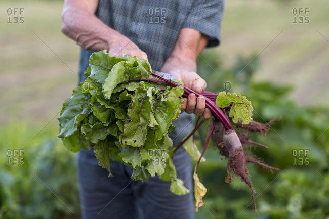 A man pulling fresh beetroot from the ground