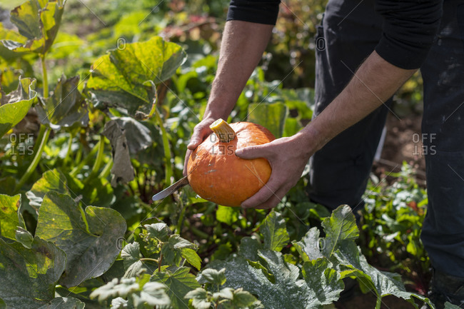 A man pulling fresh pumpkin from the ground