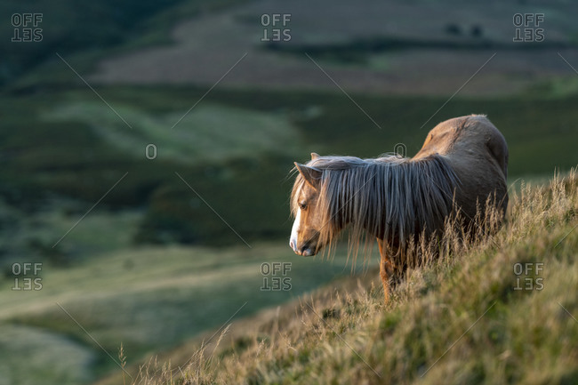Wild ponies on Hay Bluff in the  Brecon Beacons National Park in Wales