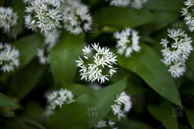 Wild garlic in a woodland in Wales