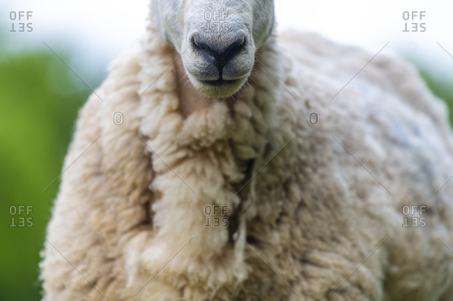 Close up of a sheep on a farm in Wales