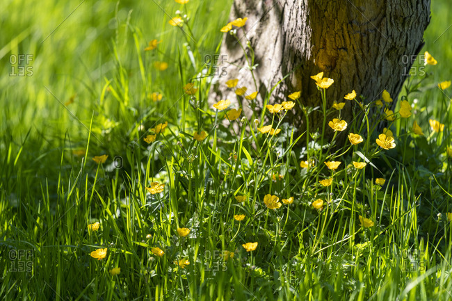 Buttercups at the base of a tree
