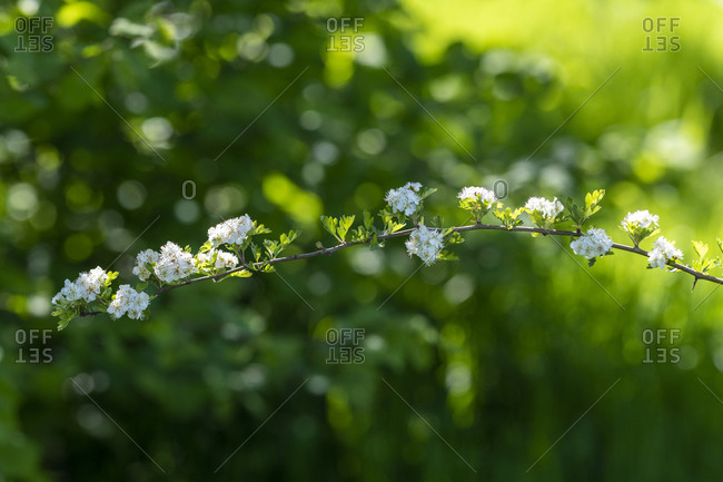 Blossom on a small branch in front of a bright green blurred background