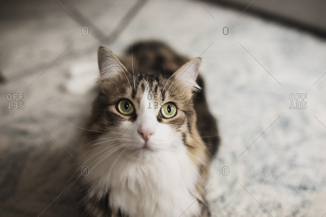 Fluffy brown and white cat with green eyes