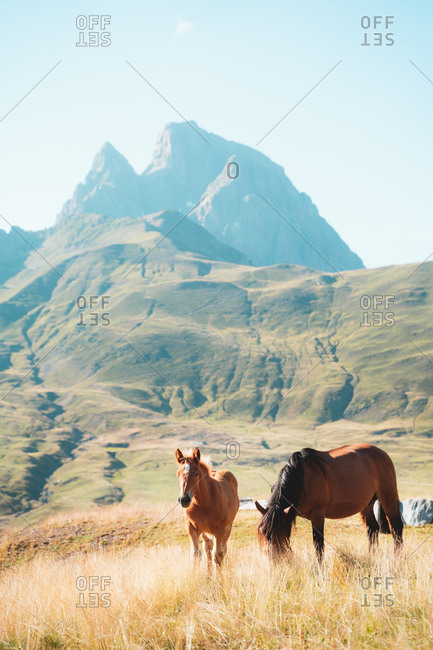 Young brown horses grazing in French Pyrenees with Pic du Midi d'Ossau in background