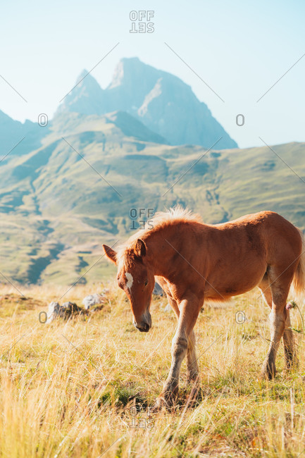 Lonely foal standing in field in Pyrenees, France