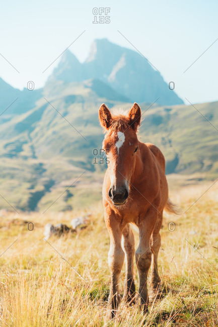 Young curious horse looking at the camera in Pyrenees