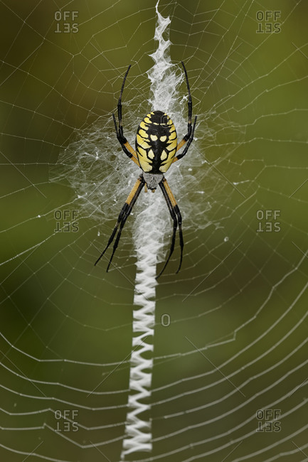 Detailed close-up of Black and Yellow Argiope on web
