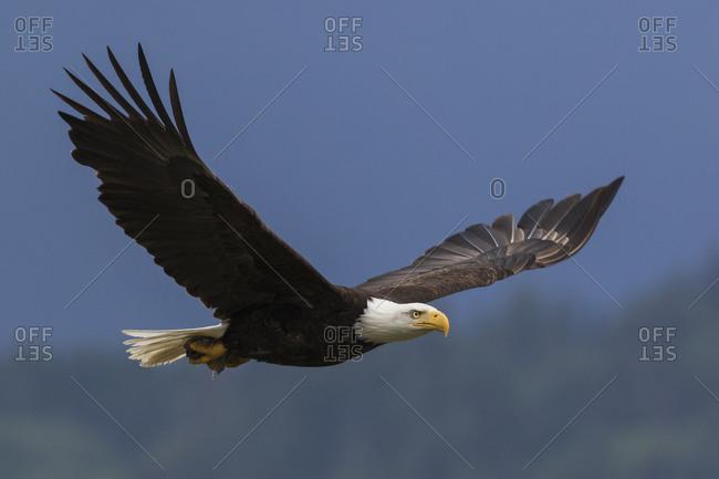 Bald eagle flying against clear sky