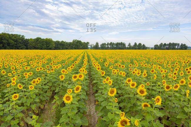 Sunflowers in field, Jasper County, Illinois.
