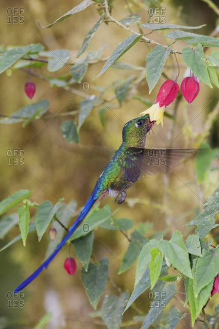 Violet-tailed sylph foraging in blooming flower