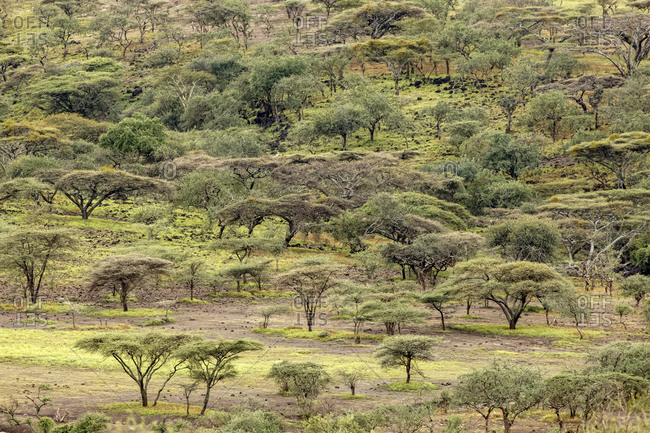 Pattern in acacia tree forest, Ngorongoro Conservation Area, Tanzania, Africa.