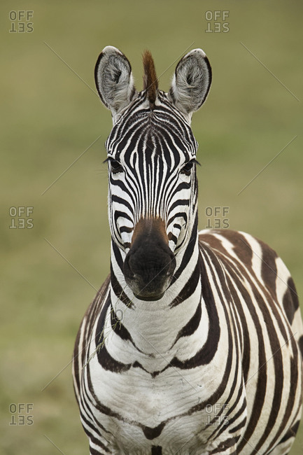 Burchell's Zebra, Serengeti National Park, Tanzania, Africa.
