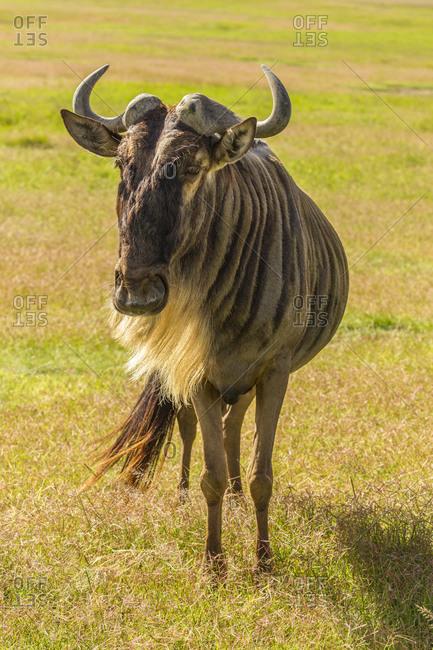 Africa, Tanzania, Ngorongoro Crater. White bearded wildebeest close-up.