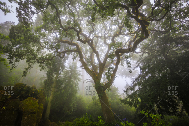 Europe, Portugal, Sintra. Forest in fog.