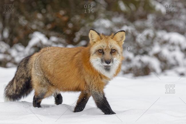 Red fox walking through fresh snow, Vulpes vulpes.