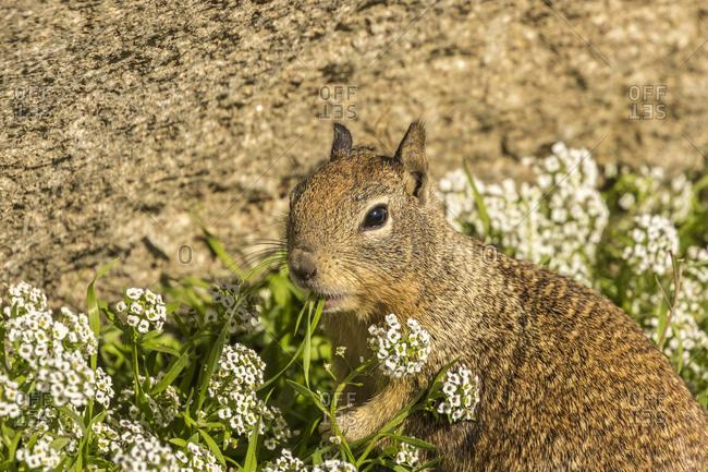 USA, California, San Luis Obispo County. California ground squirrel feeding.