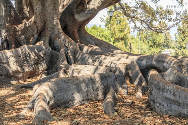 USA, California, Santa Barbara. Moreton Bay fig tree (Ficus Macrophylla). Registered in California Big Trees.