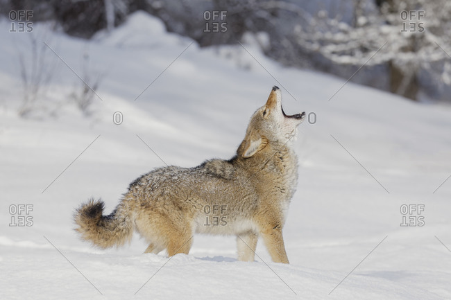 Coyote howling in deep winter snow, Montana.