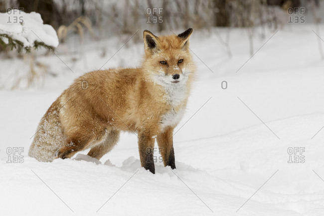 Red fox in deep winter snow, Montana.