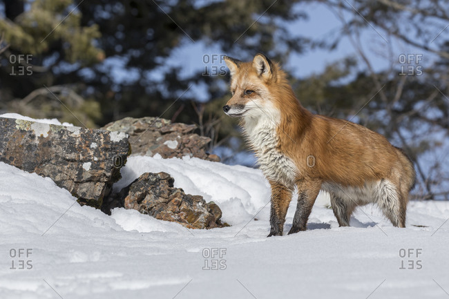 Red fox in snow, Montana.
