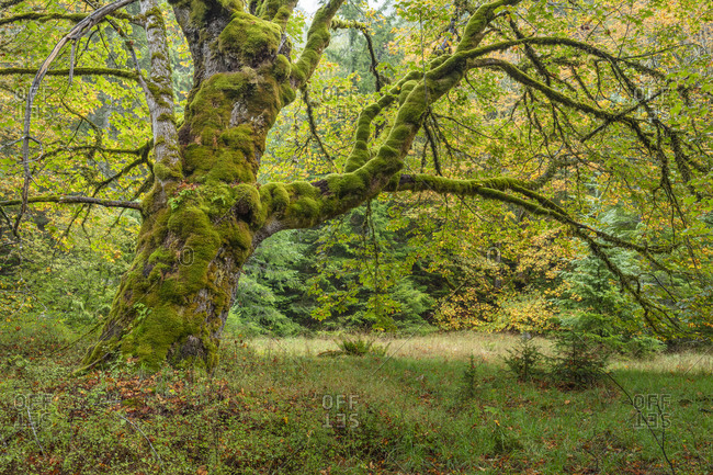 USA, Washington State, Olympic National Park. Montage of bigleaf maple tree in meadow.