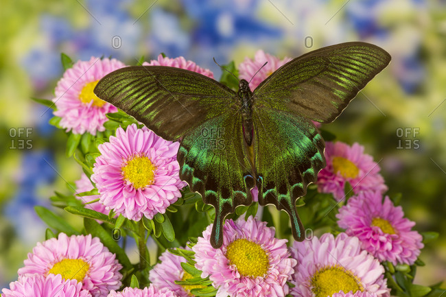 Male Papilio bianor Asian swallowtail butterfly on pink mums